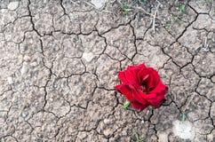 在干燥泥的红色玫瑰与镇压 免版税图库摄影
