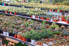 在干燥爱恋的植物庭院的温室里搁置仙人掌和多汁植物显示  库存图片