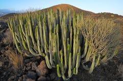 在干燥的多汁植物仙人掌 免版税图库摄影