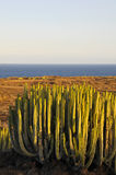 在干燥的多汁植物仙人掌 免版税库存图片