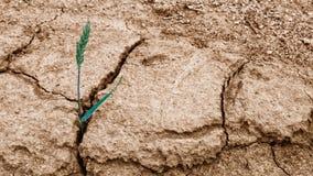 在干燥破裂的土壤的麦子耳朵 普通小麦 免版税库存照片