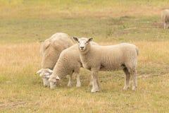 在干燥绿色玻璃的三只小绵羊 免版税库存照片