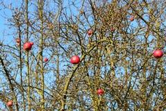 在干燥苹果树的老红色苹果在温和的冬天 免版税图库摄影