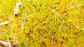 在干燥青苔下落的老黄色叶子 青苔干燥小植物,干燥杉木针和干燥橡木叶子 股票视频