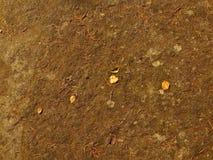 在干燥青苔的老加拿大桦叶子。干燥地面在森林里。 库存照片