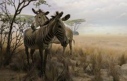 在干燥领域的两匹斑马 库存图片