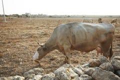 在干燥领域的布朗母牛 法维尼亚纳海岛 r 免版税库存图片
