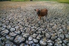 在干燥稻田的牛 免版税库存照片