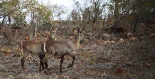在干燥bushland的Waterbucks 免版税库存图片