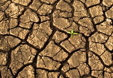 在干破裂的泥的新芽 库存照片