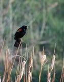 在干茎的美洲红翼鸫 免版税图库摄影