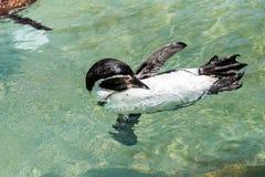 在干草公园的企鹅在莫茨金村,以色列 库存图片