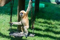 在干草公园的小长臂猿在莫茨金村,以色列 免版税库存照片