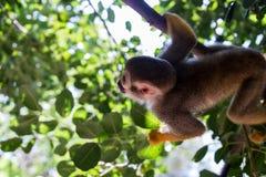 在干草公园的松鼠猴子在莫茨金村,以色列 免版税库存照片
