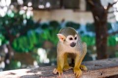 在干草公园的松鼠猴子在莫茨金村,以色列 库存照片