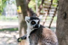 在干草公园的狐猴在莫茨金村,以色列 图库摄影