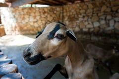 在干草公园的西非矮小山羊在莫茨金村,以色列 免版税库存照片