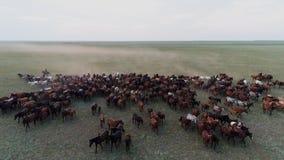 在干草原和牛仔鸟瞰图的大马牧群疾驰 股票录像