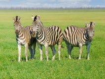 在干草原的三匹Grevy ` s斑马在春天 免版税图库摄影