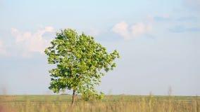 在干草原的偏僻的树 影视素材
