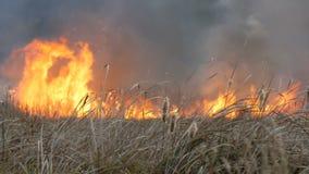 在干草原的巨大的自然风暴火焰森林火灾 灼烧的干草 股票录像