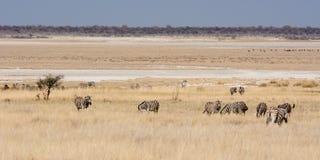 在干草原的斑马在Etosha平底锅 免版税库存图片