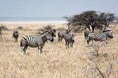 在干草原的斑马 免版税库存图片