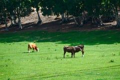 在干草原的母牛 免版税库存照片