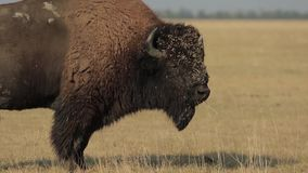 在干草原的狂放的北美野牛 影视素材
