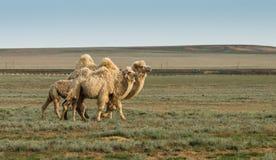 在干草原的白色骆驼 免版税库存图片