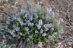 在干草原的罕见的医疗植物母亲麝香草 图库摄影
