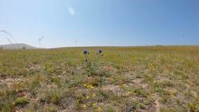 在干草原的美丽的蓝色花 影视素材