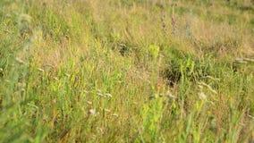 在干草原的草地早熟禾在夏天结束时 股票视频