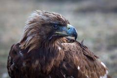 在干草原的蒙古鹫 自然 库存图片