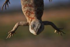 在干草原的蜥蜴 图库摄影