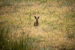在干草原的野兔 免版税库存照片
