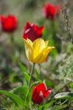 在干草原的野生黄色郁金香 图库摄影