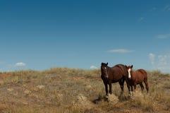 在干草原的野马 免版税库存图片