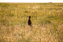 在干草原的野鸡 库存照片