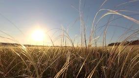 在干草原的针茅 股票视频