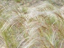 在干草原的针茅 库存照片