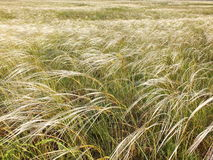 在干草原的针茅 库存图片