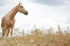 在干草原的马 免版税库存图片
