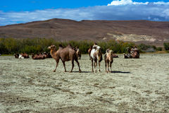 在干草原的骆驼牧群 免版税库存照片