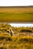 在干草原的Fox 免版税图库摄影