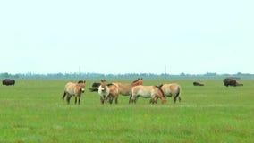 在干草原的Przewalski的马 在背景中您能看到北美野牛 股票录像