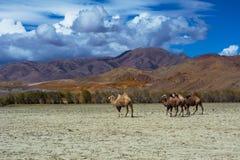 在干草原风景的骆驼牧群 免版税库存照片