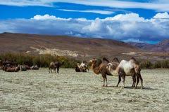 在干草原风景的骆驼 免版税库存图片
