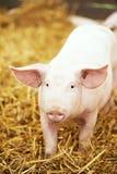 在干草和秸杆的年轻小猪在猪繁殖的农场 免版税库存图片