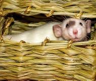 在干草嚼小屋里面的白色鼠 库存照片
